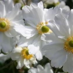 Anemone X Hybrida Whirlwind