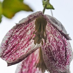 Clematis Cirrhosa Advent Bells