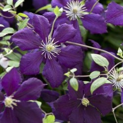 Clematis Viticella Blue Belle