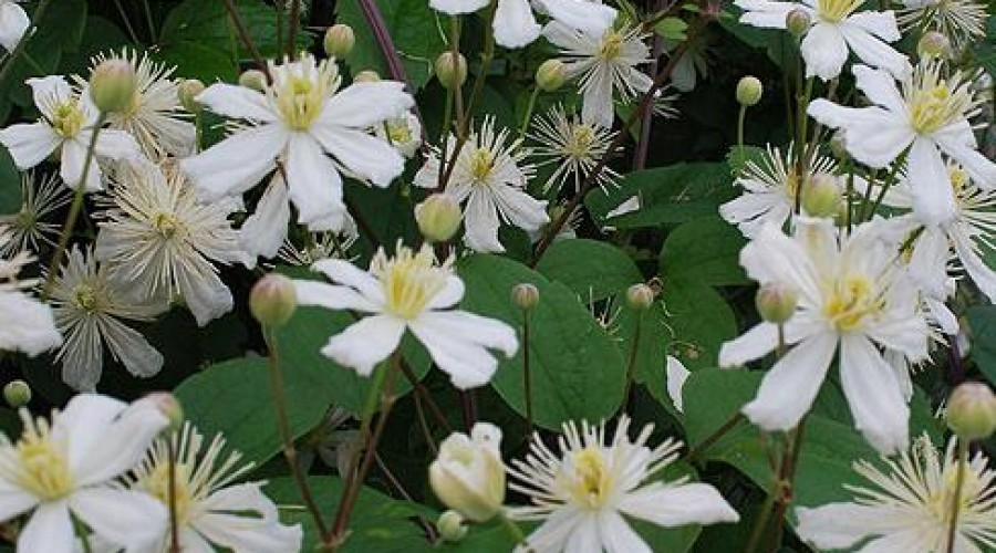 Clematis Paul Farges Summer Snow