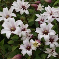 Clematis Zoprika Princess Kate