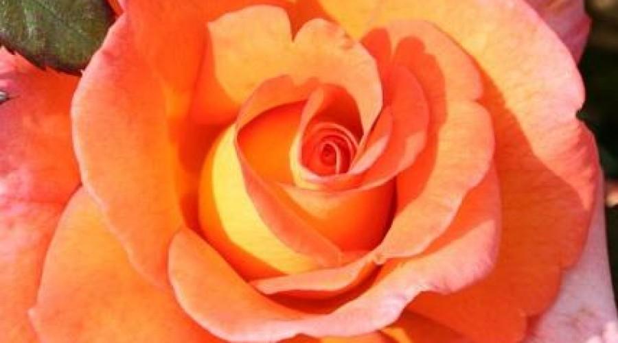 Dawn Chorus Hybrid Tea Rose