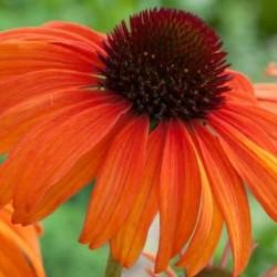 Echinacea Tangerine Dream
