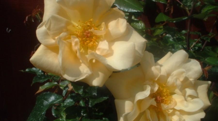 Emily Gray Climbing Rose
