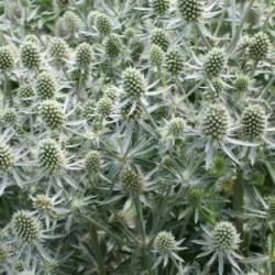 Eryngium Planum White Glitter