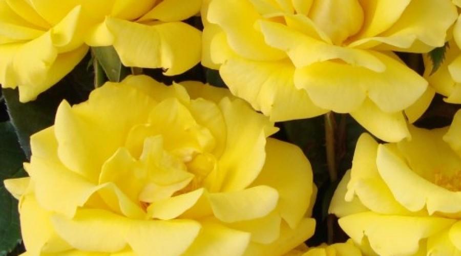 Gardeners Glory Climbing Rose
