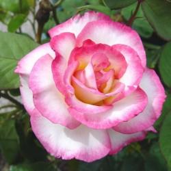 Handel Climbing Rose