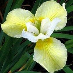 Iris Sibirica Butter & Sugar