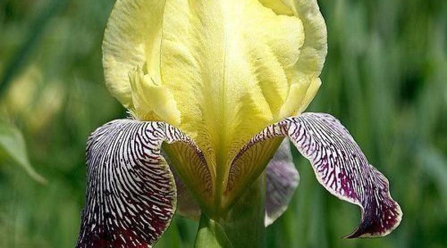 Iris Germanica Nibelungen