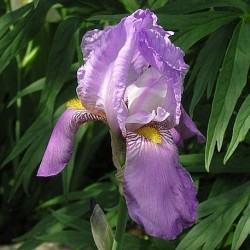 Iris Germanica Susan Bliss