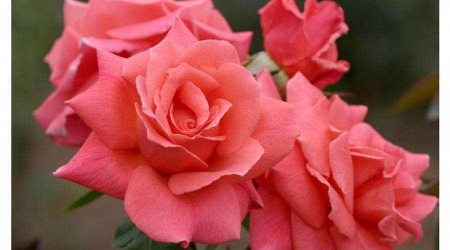 Leaping Salmon Climbing Rose