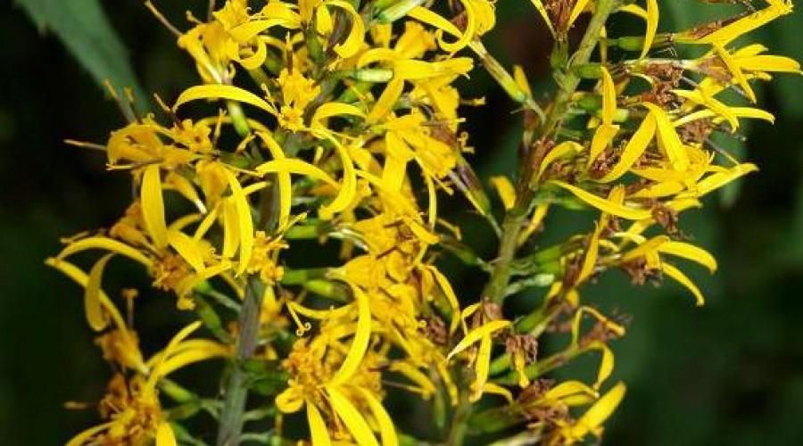 Ligularia Przewalskii