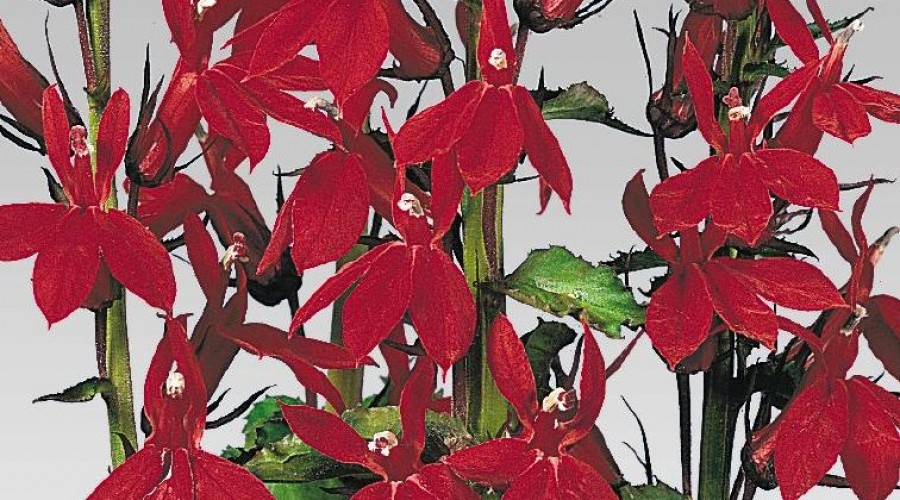 Lobelia Compliment Deep Red