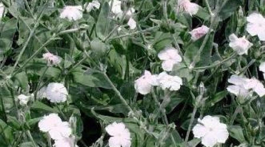 Lychnis Coronaria Alba