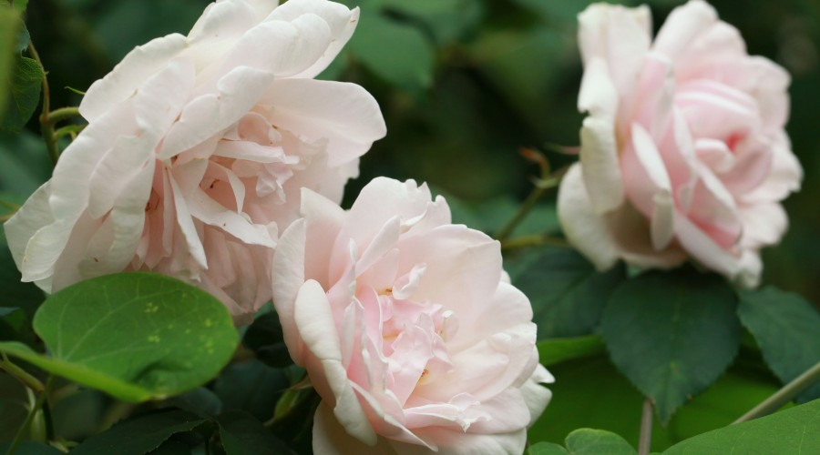 Mme Alfred Carriere Climbing Rose