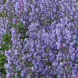 Nepeta Racemosa Walkers Low
