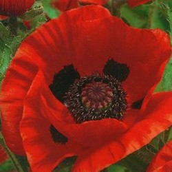 Papaver Orientale Brilliant