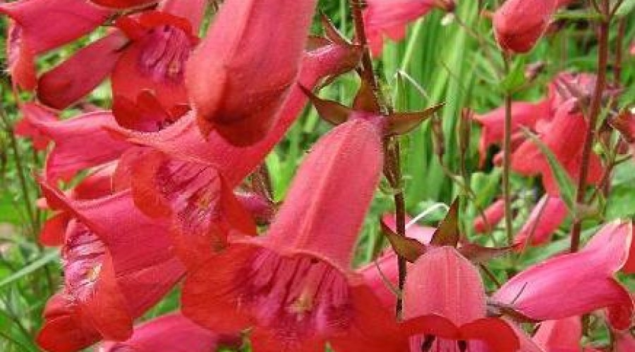 Penstemon Cathedral Rose