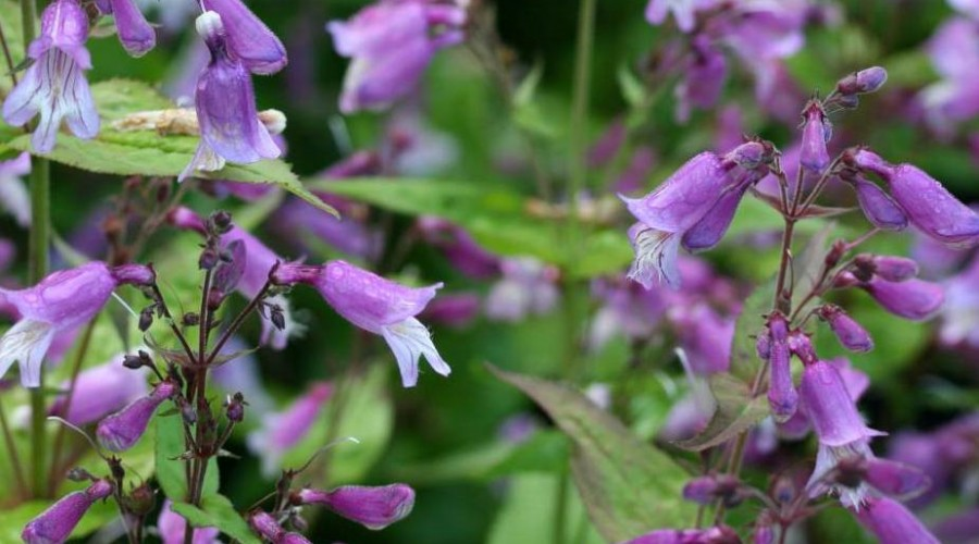 Penstemon Smallii