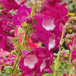 Penstemon Taffy Grape