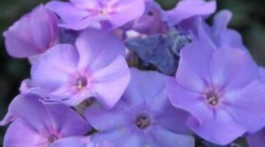 Phlox Paniculata Blue Boy