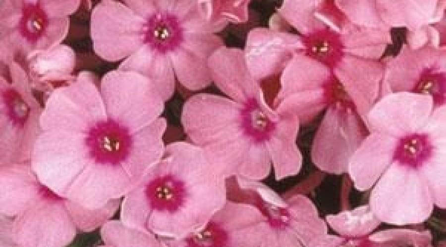 Phlox Flame Pink