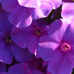 Phlox Flame Purple