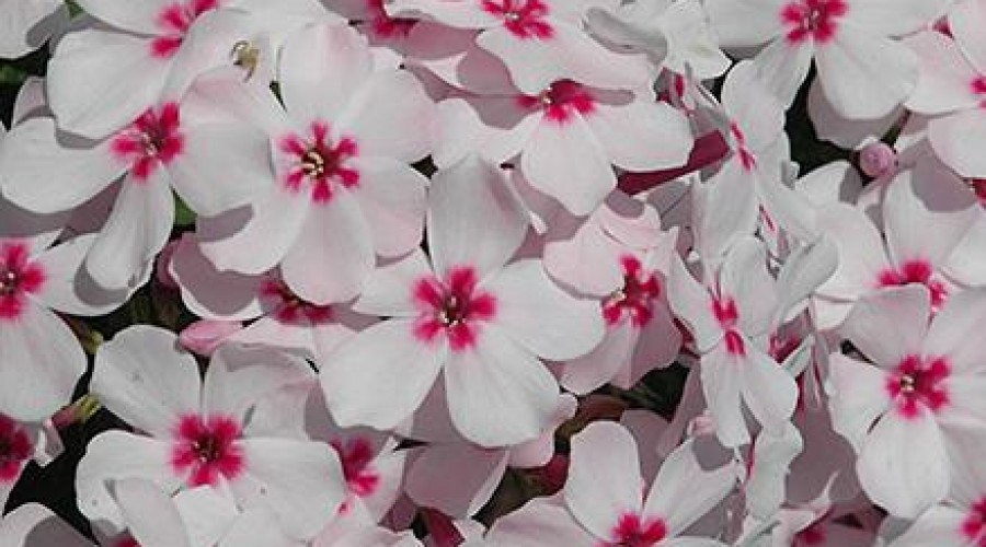 Phlox Flame White Eye