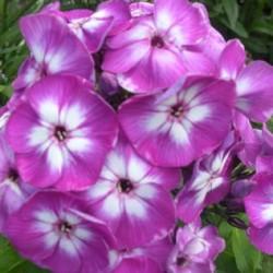 Phlox Paniculata Laura