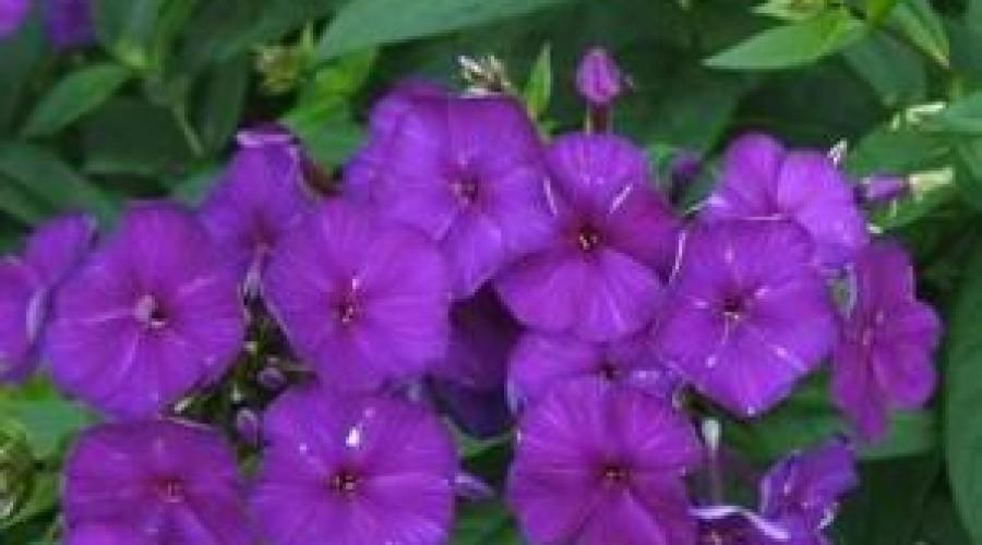 Phlox Paniculata Mardi Gras