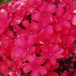 Phlox Paniculata Starfire