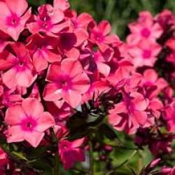 Phlox Paniculata Windsor