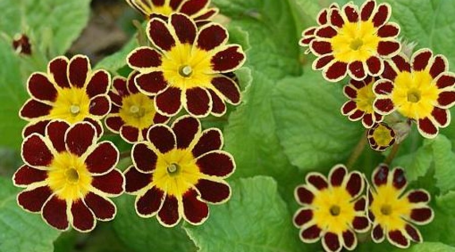 Primula Gold Lace Dark Red