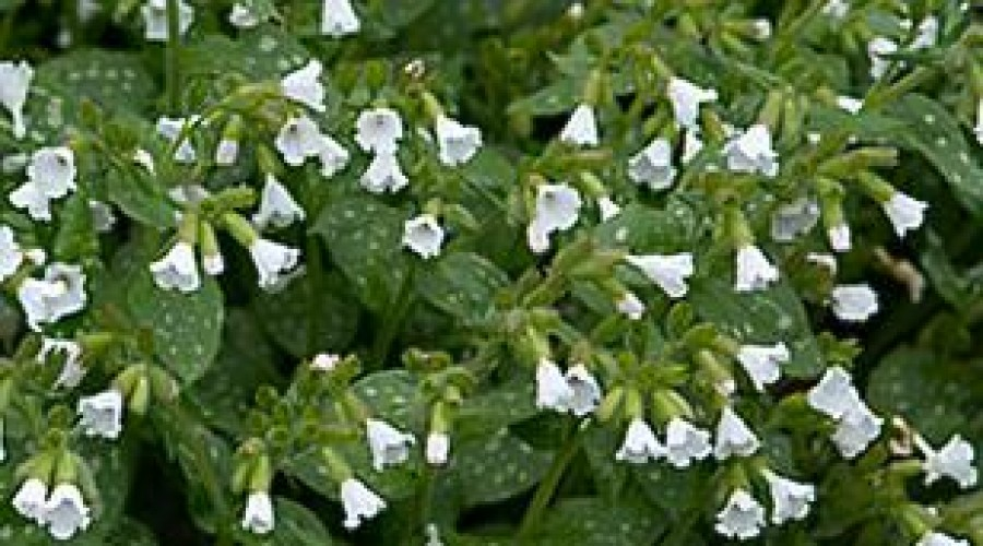 Pulmonaria Sissinghurst White