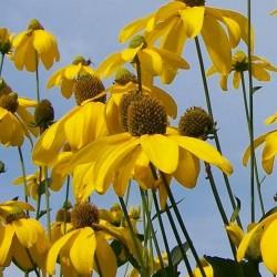Rudbeckia Lancinata Herbstonne