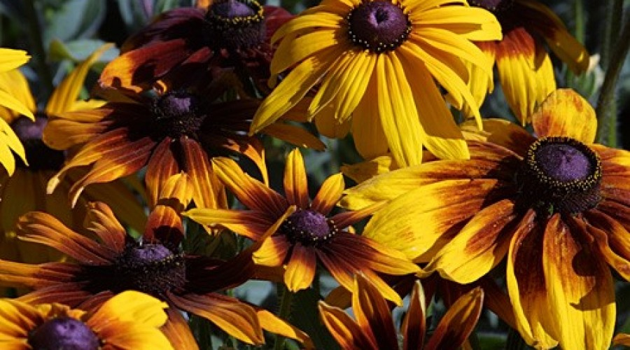 Rudbeckia Hirta Autumn Colours