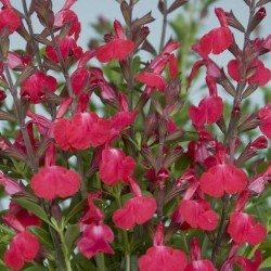 Salvia Greggii Rose Pink