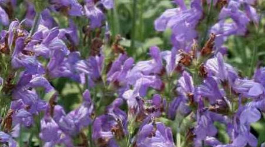 Salvia Lavandulifolia Silver Leaf