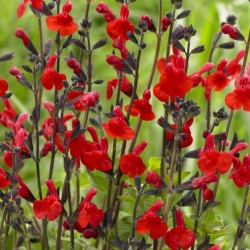 Salvia Red Swing