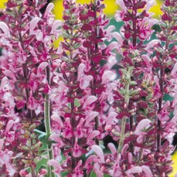 Salvia  Superba Lyon Rose