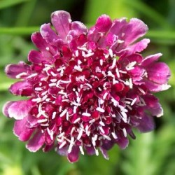 Scabiosa Atropurpurea Beaujolais Bonnets