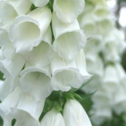 Digitalis Purpurea Snow Thimble