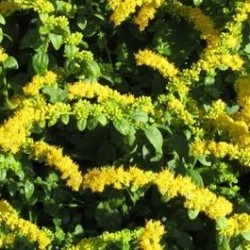 Solidago Sphacelata Golden Fleece