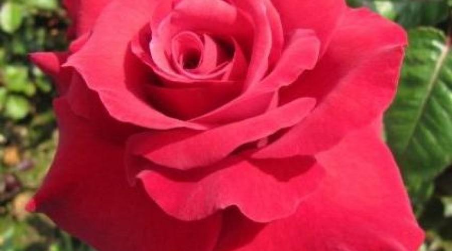 Thinking of You Hybrid Tea Rose