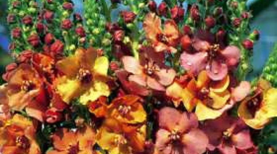 Verbascum Copper Rose