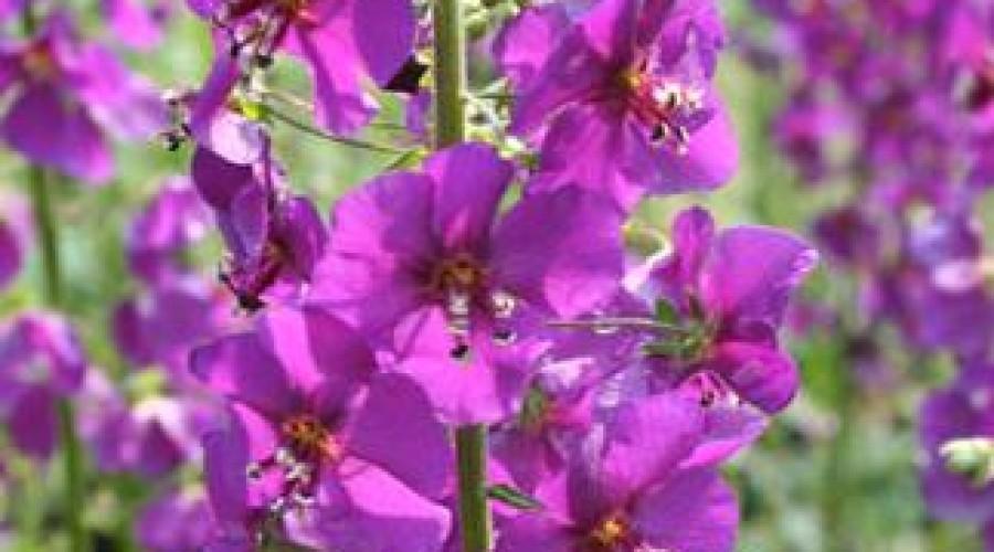 Verbascum Phoeniceum Violetta