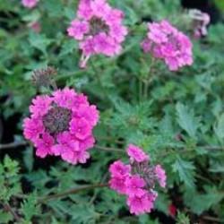 Verbena Hammerstein Pink
