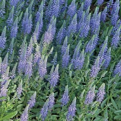 Veronica Spicata Blue Carpet