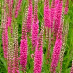 Veronica Spicata Red Fox