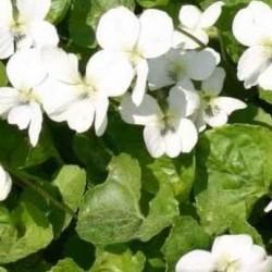 Viola Sororia 'Albiflora'